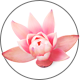 Lotusbluetenextract_NELUMBO-NUCIFERA